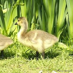 IMG_20180520_160939_590 (missymonroe82) Tags: ducks ducklings summer duckling pond pondlife goose
