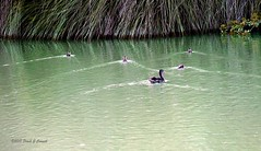 then there were four (Frank G Cornish) Tags: ducks ducklings pond corpuschristitx