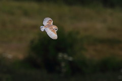 Daytime Hunter (Robin M Morrison) Tags: barnowl hunting blackholemarsh seaton devon