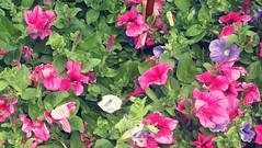 Que de beuté (garneau.joel2 Thank you for 2,000 view) Tags: fiori giardini plants blumen fleurs flowers flower flore jardin plante flora flores