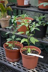 Chili-Jungpflanzen (blumenbiene) Tags: chilipflanze chilipflanzen chili chilli chillie chilie plant plants pflanze pflanzen garten garden pepper peppers jungpflanzen seeling seelings jungpflanze