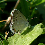 Eastern Tailed-blue thumbnail