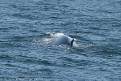 AHK_6463 (ah_kopelman) Tags: bpcresli2018071101 2018 balaenopteraphysalus cresli creslivikingfleetwhalewatch finwhale montaukny vikingfleet vikingstarship spinousridges typebdorsal whalewatch