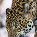 Next jaguar picture