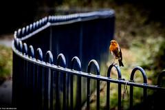 Robin, Liverpool (Night-Sky) Tags: liverpool england unitedkingdom gb