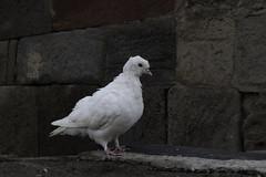 Dove MacPigeonfeathers (Giorgi Natsvlishvili) Tags: dove pigeon georgia bird gergeti gergetitrinitychurch whitedove whitepigeon