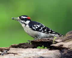 DSC_8536=081218D (laurie.mccarty) Tags: bird bokeh animal downywoodpecker downy wildlife outdoor nature