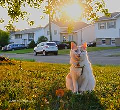 Suddenly it dawned on Bubby... (Trevdog67) Tags: ra bast egyptian egyptology sunrise sun suburbia cat suddenlyitdawnedonme sony sonyrx10iv sonyrx10m4 moncton newbrunswick canada rx10
