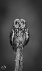 short-eared owl (Sharkland) Tags: bird owl uggla fågel sweden uppland gräsö nikon d750 monochrome svartvitt jorduggla asioflammeus strigidae shortearedowl
