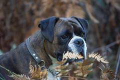 Stylin' in bracken (Painful, slow internet:() Tags: ddogchal boxer dog