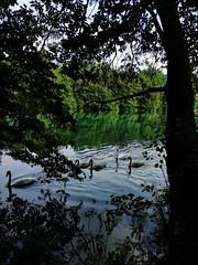 2018-08-14 16.29.32-1 (albyantoniazzi) Tags: brivio cigni adda river fiume brianza italia lombardia green
