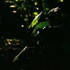 solitary leaves (mkk707) Tags: film analog wwwmeinfilmlabde zeissikonstyle zeissikonvoigtländericarex35stm carlzeissultron1850m42 m42mount kodakcolorplus200 vintagelens vintagefilmcamera germancameras leaves minimalism