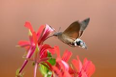 Hummingbird hawk-moth (Susanne Leyh) Tags: hummingbirdhawkmoth moth insect insekt hawkmoth macroglossumstellatarum taubenschwänzchen summer schmetterling hovering