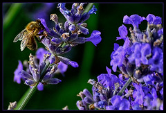 Bee collecting nectar (scorpion (13)) Tags: busy bee insect nature lavender flowers blossoms plant garden color creative photoart sun