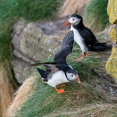 Puffin 05-May-18 G 012 (gomo.images) Tags: 2018 aberdeenshire bird country nature puffin rspbscotlandfowlsheugh scotland stonehaven years