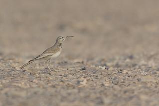 Wüstenläuferlerche (Alaemon alaudipes)