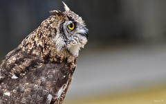 Owl - 5735 (ΨᗩSᗰIᘉᗴ HᗴᘉS +22 000 000 thx) Tags: owl bird pairidaiza hensyasmine namur belgium europa aaa namuroise look photo friends be wow yasminehens interest intersting eu fr greatphotographers lanamuroise tellmeastory flickering tamron tamron150600