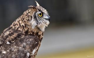 Owl - 5735