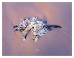 Gannet (Kristian Bell) Tags: jersey bird dead gannet winter storm beach sand beautiful samsung s7 kris kristian bell