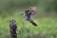 Cuckoo (Colin Rigney) Tags: nature wildlife scotland colinrigney scottishwildlife birds wings outdoors outside avian canon wild beautifulbirds wildbirds cuckoo