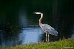 Heron (JSB PHOTOGRAPHS) Tags: jsb7683 heron water altonbakerpark eugeneoregon nikon d3 80400mm
