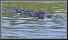 Stink eye (WanaM3) Tags: wanam3 nikon d7100 nikond7100 texas pasadena clearlakecity horsepenbayou bayou outdoors nature wildlife eye canoeing paddling animal reptile lizard gator alligator alligatormississippiensis