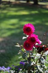 summer flowers 2018 (12) (mgheiss) Tags: flowers blumen dahlien dahlias canon dslr eos6dmarkii canonef50mmf18