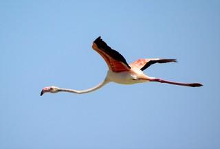 flamenco europeo / european flamingo