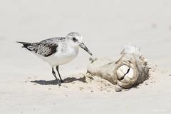 DSC_0199 (P2 New) Tags: 2017 animaux bécasseau bécasseausanderling charadriiformes date guyane kourou novembre oiseaux pays scolopacidés