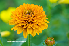 IMG_0394 (nitinpatel2) Tags: flower nature nitinpatel