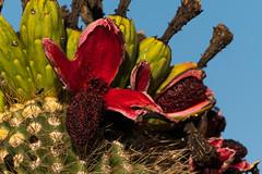 Saguaro Fruit (rickcameron) Tags: saguaro cactus fruit chollamountainlooptrail theamphitheater brownsranch mcdowellsonoranpreserve scottsdale arizona desert sonorandesert