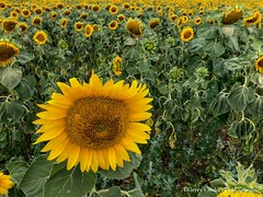 Un rayon de soleil (thierrycoulon1) Tags: tournesols fleur thierrycoulon ete champ chatelaillon canon