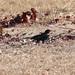 Bubalornis niger (Red-billed Buffalo Weaver)