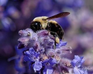 Bumble Bee With Pollen Leg Wrap