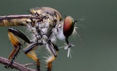 Robber fly / Assassin fly (RamaWarrier) Tags: robber fly assassin asilidae with prey bangalore india hypopharynx predator ambush proboscis flight aggressive kill dreams macro