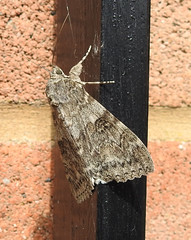 Red Underwing (wild anona) Tags: insects moth large saltholme macro
