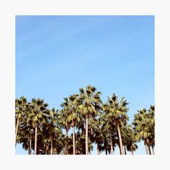 Palms | Urban Landscape (bnishimoto) Tags: urban fuji fujifilm myfujifilm downtown sanjose bayarea city x100f 23mm clasicchrome color explore