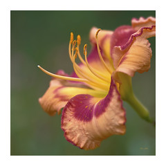 Pollen (ChristopherLeeHewitt) Tags: pollen petals plants pink red flower fleur flora foliage flowers daylily dof square summer stamens soft garden green macro nature naturephotography orange bloom blossom blooming bright