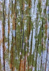"""Serie """" Cortezas """" (Ana_1965_2010) Tags: fotografíadenaturaleza fotografiadearboles naturaleza natura nature natur arbol tree arbre baum albero tronco corteza ritidoma macro makro macrophotography macrofotografia closeup makrofotografia makrofotografie liquen liquenes lichen lichene moho troncos cortezas naturephotography natureshots naturephoto natureaddict micologia anawilli flick flickraddict abstracto abstract musgo textura texture botanica artofnature artenatural"""