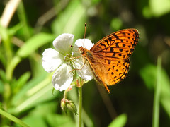 DSCN2176 (pamfromcalgary) Tags: flower butterfly brownloweryprovincialpark