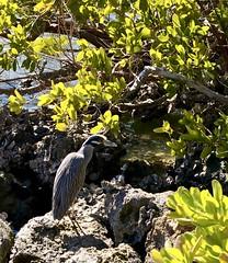 Yellow Crowned NIght Heron (phthaloblu) Tags: yellowcrownednightheron sarasota florida usa rocks shrubs water