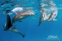 Frisky play today (bodiver) Tags: hawaii wideangle ambientlight snorkeling dolphins naia blue ocean reflection fins
