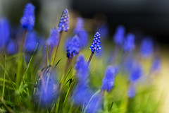 Promises (Keith Midson) Tags: bluebells flowers plant plants garden samyang 135mm f2