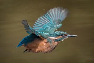 Juvenile Kingfisher in flight / Eisvogelbaby im Flug