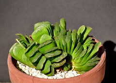 Haworthia truncata cv Lime Green