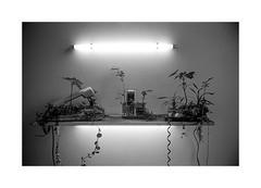 Last Garden (Oeil de chat) Tags: nb bw monochrome film argentique pellicule 35mm fujica st605 kodak trix insolite étrange michel blazy végétation postapocalyptique voyageànantes