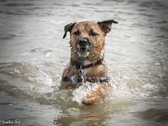 The sea otter (Kakeart) Tags: yerrier calshot dog sea water outdoor swimming terrier cross jack russell