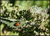 Ladybird (NickD71) Tags: panasonic lumix dmc lx100 compact advanced snapseed ladybird ladybug nettle insect red nature basking