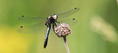 Dot-tailed Whiteface Dragonfly - Leucorrhinia intacta (ksblack99) Tags: dragonfly leucorrhiniaintacta dottailedwhiteface waterloostaterecreationarea grasslake michigan allfreepicturesaugust2018challenge