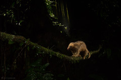 Silky anteater(Cyclopes didactylus) crossing a vine at night (Chris Jimenez - Take Me To The Wild) Tags: didactylus night phototrap anteater mammals rainforest rare lowlands chrisjimenez guapiles ambient braulio vine costarica silky carrillo cope national hormiguero infrared concern crossing photography platanal platanar park vegetation cyclopes de serafin